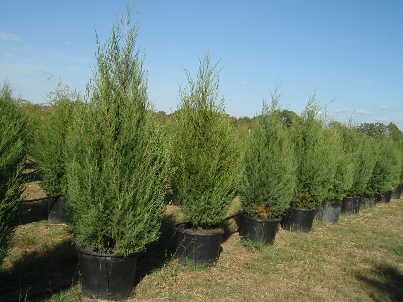 Gallon eastern red cedar images frompo