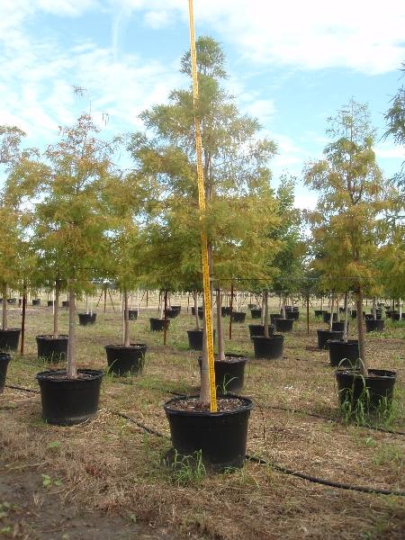 Wholesale Trees Dallas Fort Worth Houston San Antonio