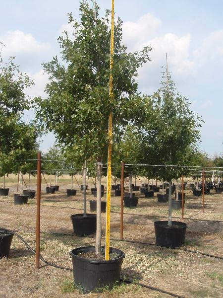 Wholesale Trees Dallas Fort Worth Houston San Antonio Austin Tyler Waco