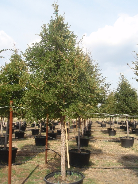 Wholesale Trees Dallas Fort Worth Houston San Antonio