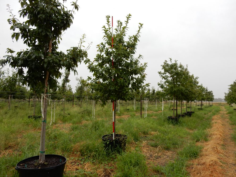 Chinquapin Oak 45 Gal 1