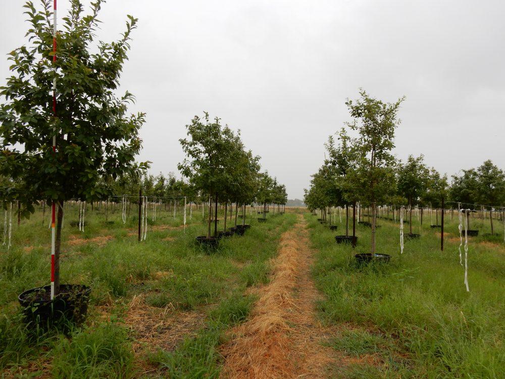 Chinquapin Oak 45 Gal 2