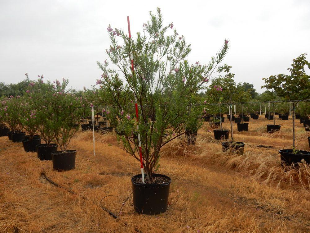 Desert Willow Bubba 30 Gal 1