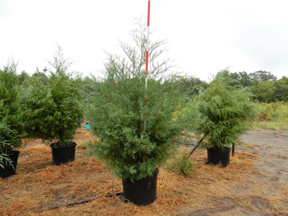 Eastern red cedar gallons rockin l tree farm