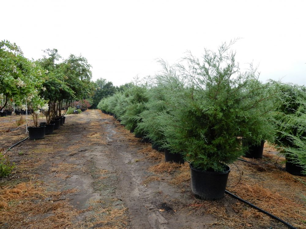 Eastern red cedar gallons rockin l tree farm